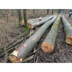 Kingwaywood latest arrival of the German beech logs sawing home building materials wholesale